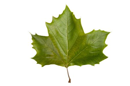 Single maple leaf isolated on a white bakground