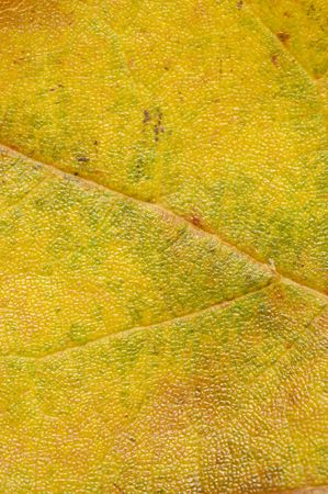 close up of an autumn leaf Stock Photo