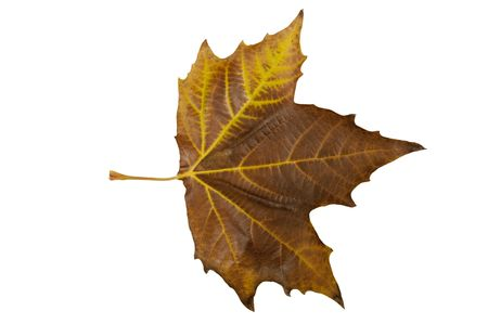 Autumn leaf isolated on a white background photo