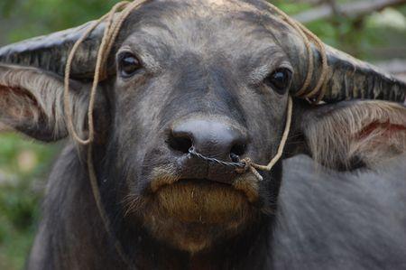 nose ring: Waterbuffalo