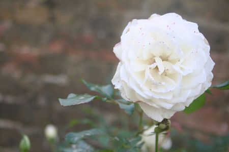 White rose on the foreplan. Brown background. Stock Photo - 4810558