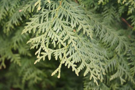 Cypress branch is in the focus. Similar branches on the background.