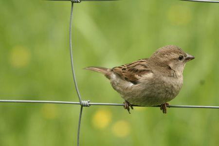 Sparrow on the fence