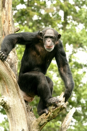 Chimpanzee on the tree Stock Photo - 4810674