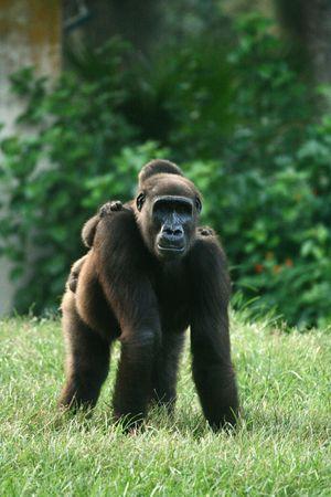 Gorilla on the grass