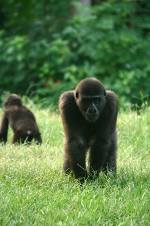 Gorilla on the grass Stock Photo - 4810681