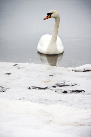 The beautiful white swan is swimming in the water. It is winter. Stock Photo