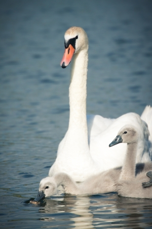 Picture of a swan and two swan babies in the river  photo