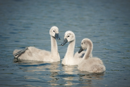 Picture of three beautiful swan babies in the river  photo