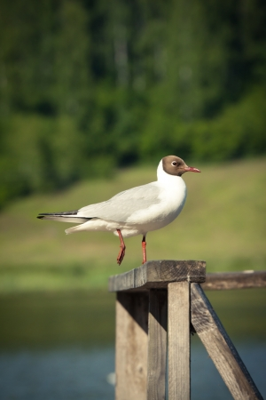 Picture of a sea-gull sitting on the wooden fence Stock Photo - 14457573