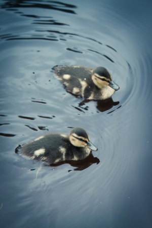 Picture of two cute ducklings in the water  photo
