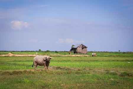 Picture of asian buffalo in Cambodia