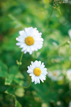 Picture of a daisy flowers on the green grass Stock Photo