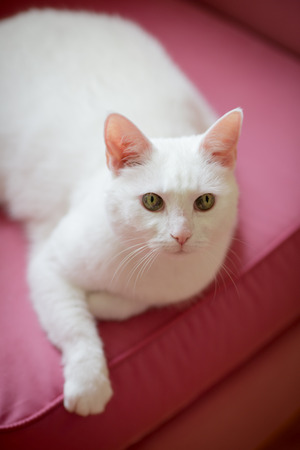 White cat relaxing on the pink sofa with closed eyes