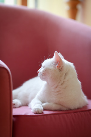 home confort: White cat relaxing on the pink sofa with closed eyes