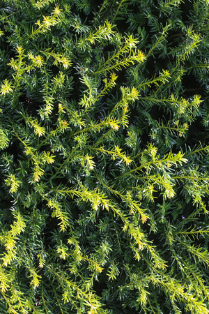 Close-up view of the evergreen fir tree Stock Photo