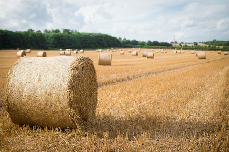 hayroll: Big hay rolls in the mow field, green trees in the background