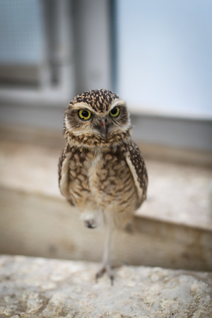 Beautiful brown owl bird standing on one leg