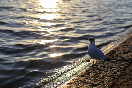 water wings: Seagull looking at the pond. Sunset.