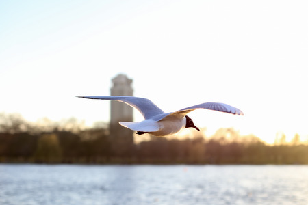 Beautiful white seagull bird flying over the water on sunset