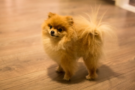 Little cute pomeranian spitz puppy