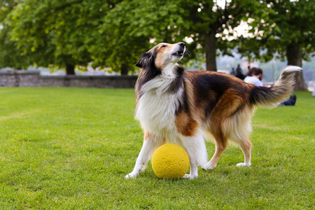 Beautiful adult collie dog playing with a ball in the park Stock Photo