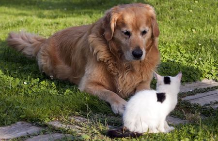 Domestic cat and golden retriever in the backyard.