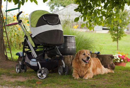 Golder retriever guarding baby stroller.