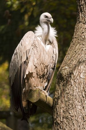 Griffon Vulture on the tree branch. photo