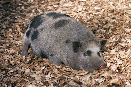 potbelly: Vietnamese Potbelly Pig lying on the ground.