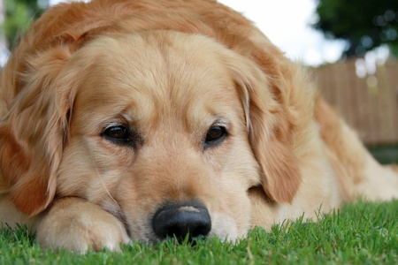 ojos tristes: Triste retriever dorada tumbado en la hierba.