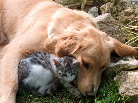 domestic cat: Best friends, cat and golden retriever. Stock Photo