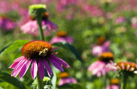 incest: Close up of Echinacea purpurea flower with bee.