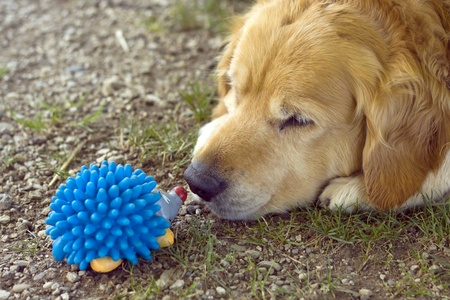 frontyard: Dog playing with his toy.