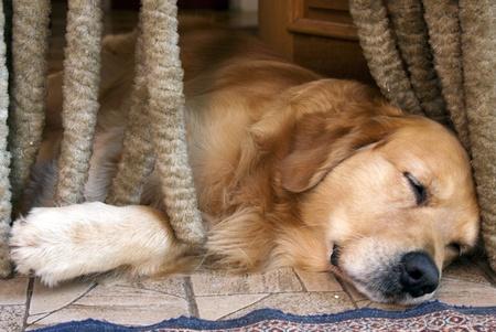 Golden retriever die op de portiek van het huis slaapt.