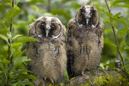Couple of long-eared owl on the tree branch.