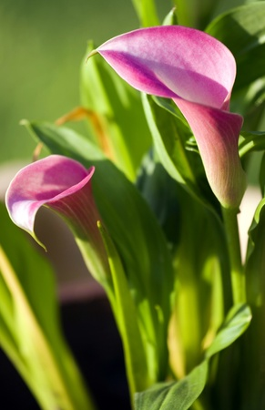Close up of the beautiful calla flowers.