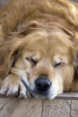 frontyard: Golden retriever sleeping in the front-yard.
