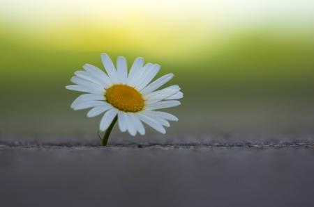 Single daisy flower in the concrete.