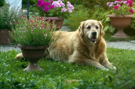 frontyard: Golden retriever lying in the grass in garden.