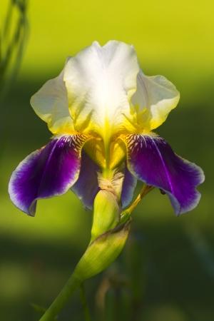 Beautiful single iris flower. Stock Photo
