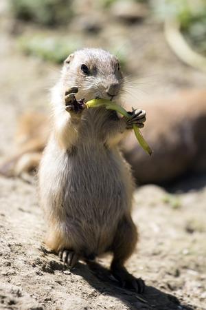 perro comiendo: Perro de las praderas divertido que come verduras. Foto de archivo