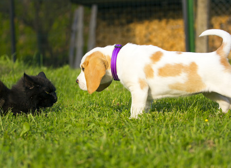 encounter: First encounter of the young beagle dog with cat. Stock Photo