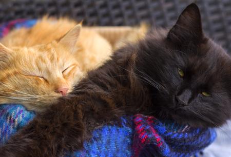 Paar oranje en zwart huiskatten.