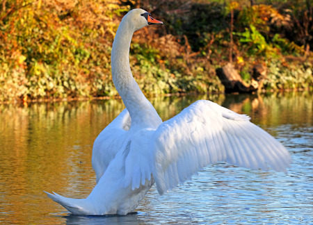White swan spreadinh it's wings.