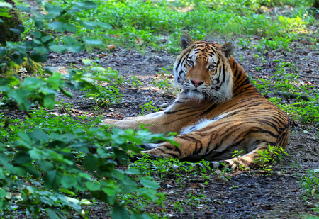 Beautiful wild tiger lying in the woods.