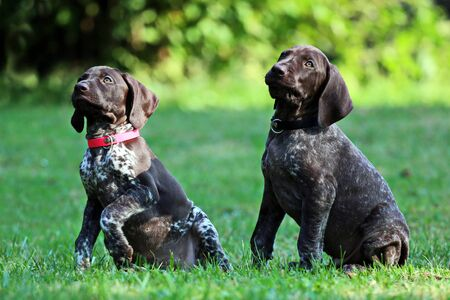 Two german short-haired pointing dog puppys in attention. Standard-Bild
