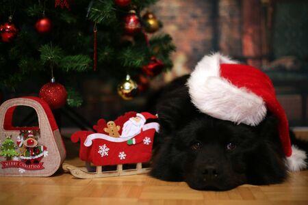 Beautiful eurasier black dog lying by the christmas tree. Standard-Bild