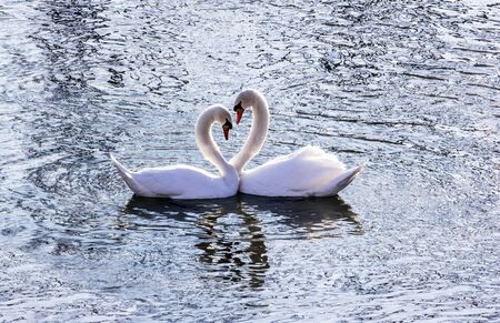 Beautiful swan couple in the river in the heart shape.