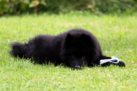 Black Eurasian puppy dog lying on the grass, playing with his toy.